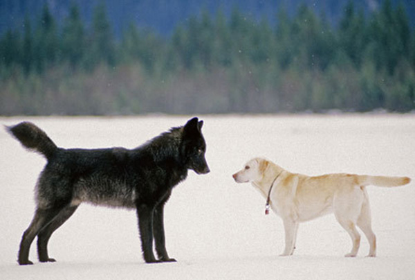 wolf-meets-dog-5